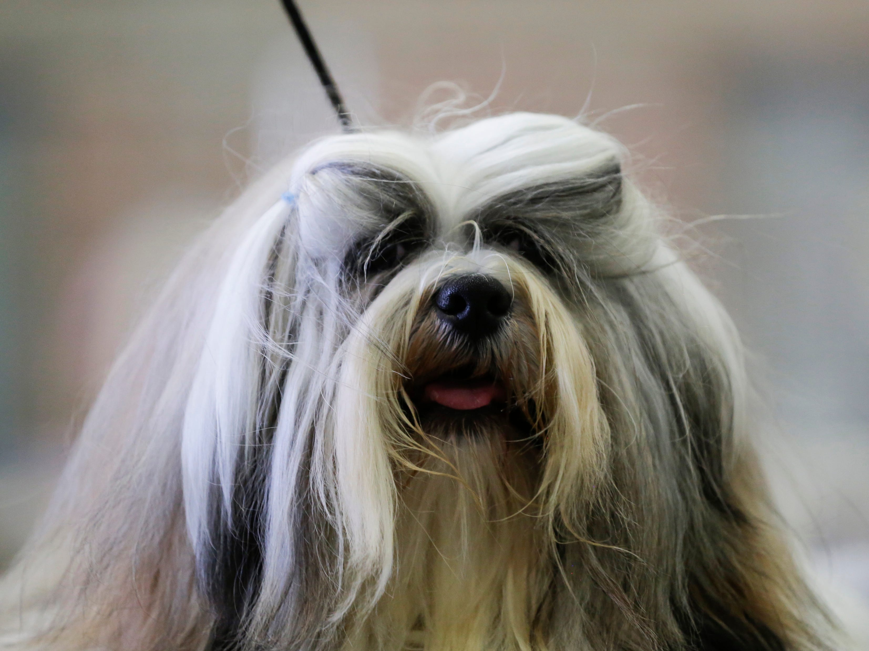 Dolce, a Lhasa Apso, waits to compete during the Marshfield Area Kennel Club's All-Breed Dog Show, Obedience Trials and Rally Trials at the Central Wisconsin Fairgrounds in Marshfield Saturday, August 18, 2018.