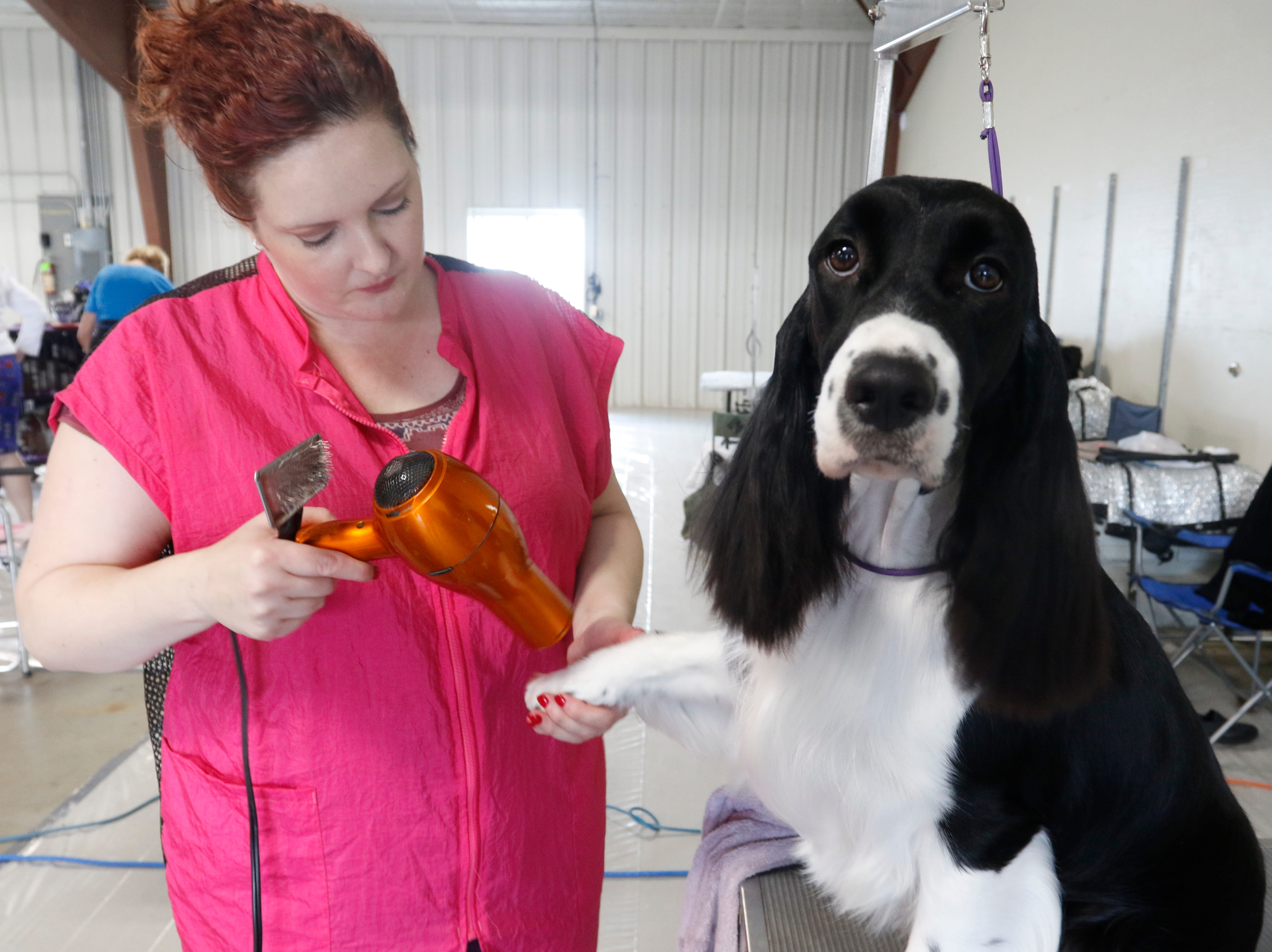 Violet, an English springer spaniel, is groomed by Sarah Willms before competing in confirmation during the Marshfield Area Kennel Club's All-Breed Dog Show, Obedience Trials and Rally Trials at the Central Wisconsin Fairgrounds in Marshfield Saturday, August 18, 2018.