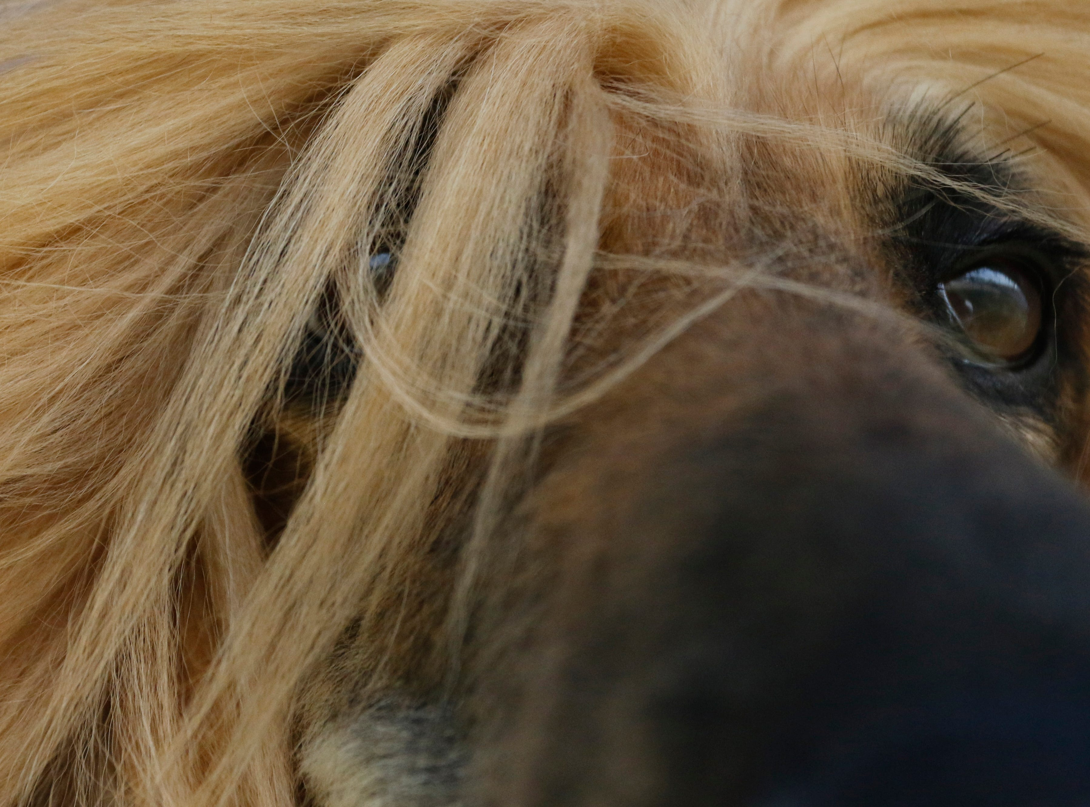Glitter, an Afghan hound, waits to be groomed before competing during the Marshfield Area Kennel Club's All-Breed Dog Show, Obedience Trials and Rally Trials at the Central Wisconsin Fairgrounds in Marshfield Saturday, August 18, 2018.