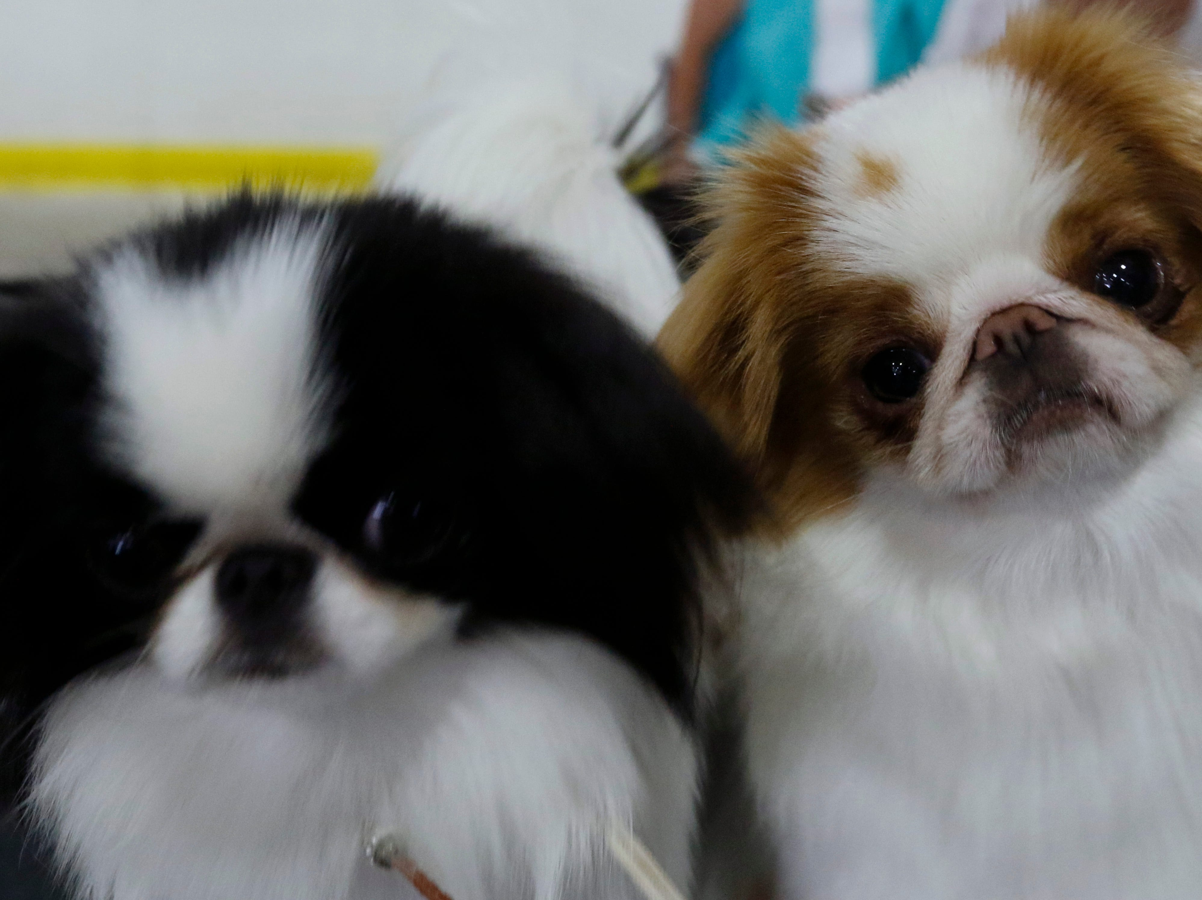Emmie, left, and her fellow Japanese chin Coco wait to compete during the Marshfield Area Kennel Club's All-Breed Dog Show, Obedience Trials and Rally Trials at the Central Wisconsin Fairgrounds in Marshfield Saturday, August 18, 2018.