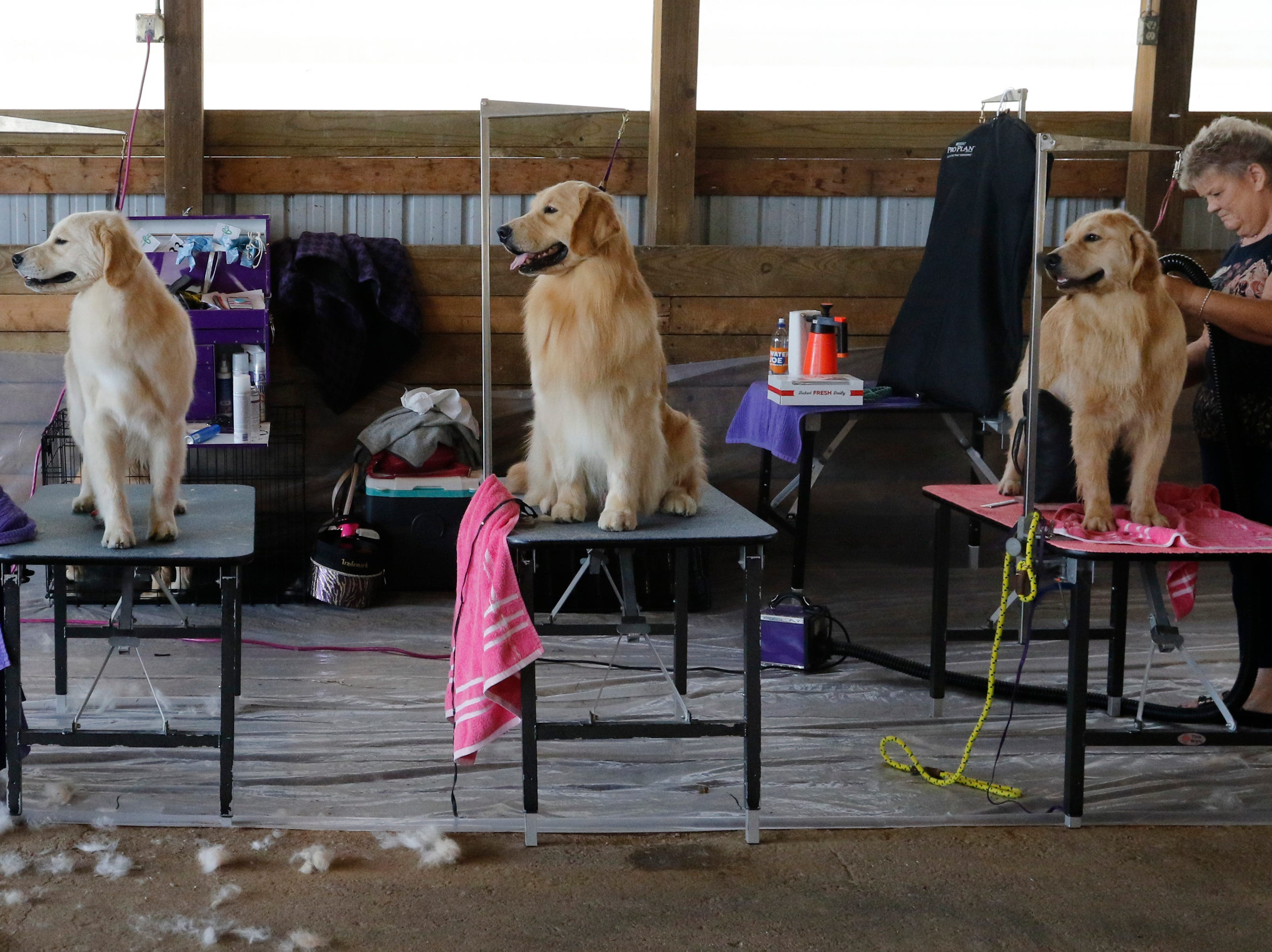 Debbie Oster grooms Fiona, a golden retriever, right, next to Sullivan, left and Swayze, center, as they all prepare to compete during the Marshfield Area Kennel Club's All-Breed Dog Show, Obedience Trials and Rally Trials at the Central Wisconsin Fairgrounds in Marshfield Saturday, August 18, 2018.