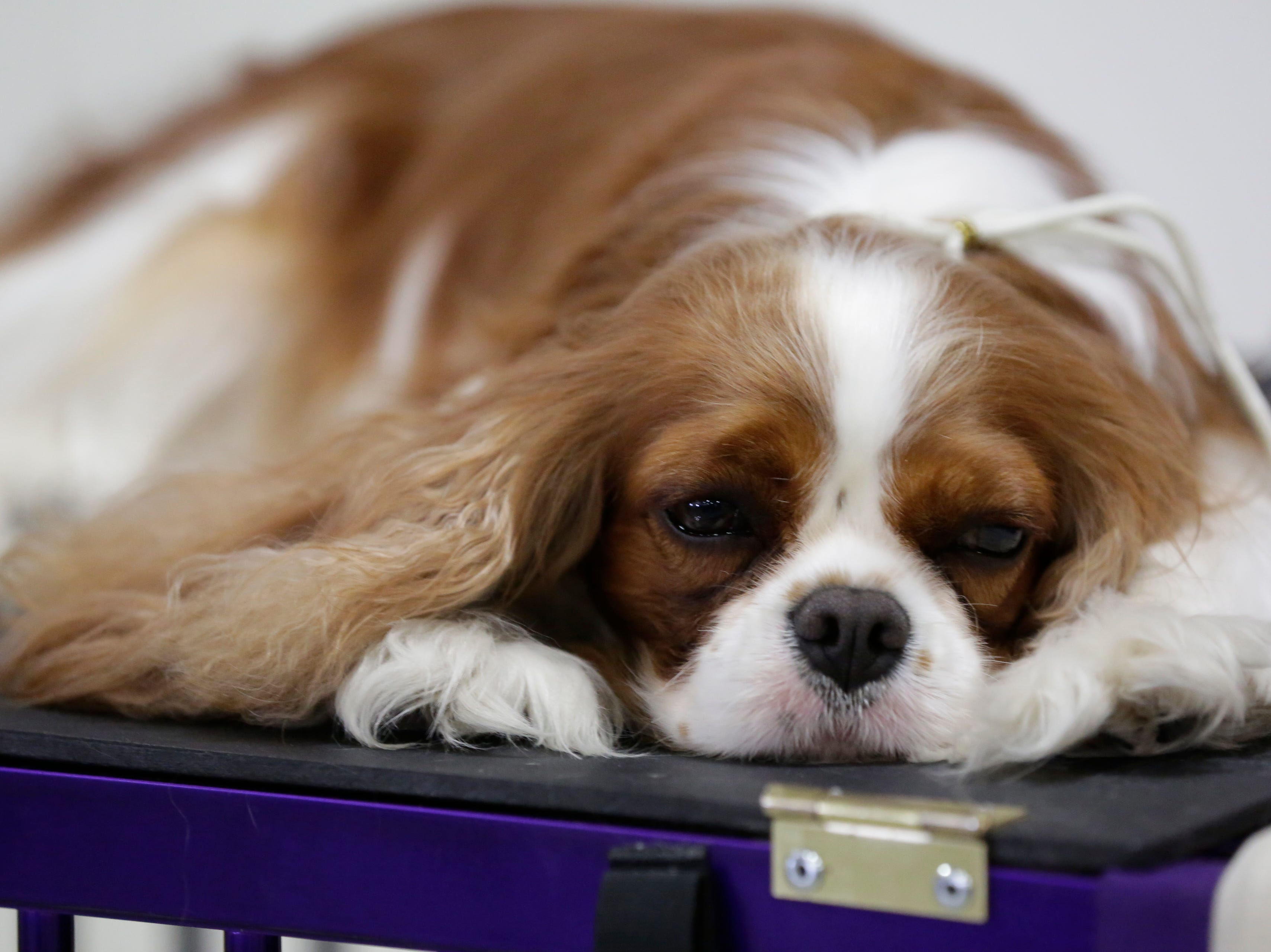 Penny, a Cavalier King Charles spaniel, rests during the Marshfield Area Kennel Club's All-Breed Dog Show, Obedience Trials and Rally Trials at the Central Wisconsin Fairgrounds in Marshfield Saturday, August 18, 2018.