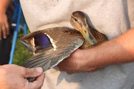 A juvenile drake mallard is held before it is banded at Horicon Marsh State Wildlife Area in Horicon. The drake has yet to develop its adult plumage and its identifiable by its bill color.