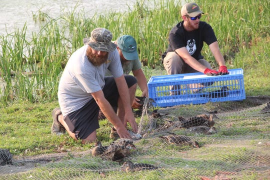 Volunteers and Department of Natural Resources staff remove ducks from a net and place them in crates prior to banding and release at Horicon Marsh State Wildlife Area in Horicon.