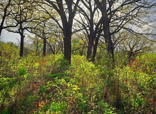 A springtime late-afternoon in the Wingra Oak Savanna in the University of Wisconsin-Madison Arboretum