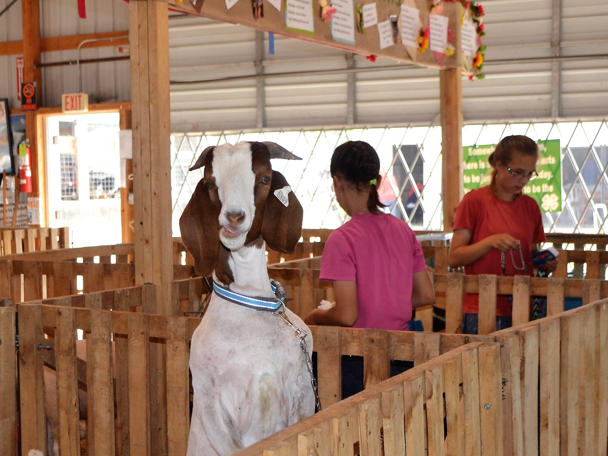 As youths prepare for their animals for the Goat Show at the Oconto County Fair on Saturday, Aug. 18, a curious goat props himself up to see what's going on above his pen.