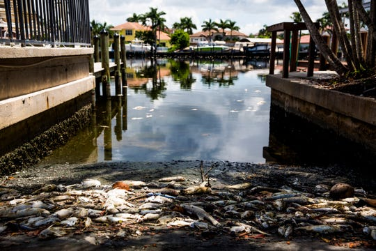 Dead fish lie along the canals in North Naples near Gulf Shore Drive on Sunday, Aug. 19, 2018. Red tide still has a heavy presence along the beaches and canals in Naples and Bonita Springs.