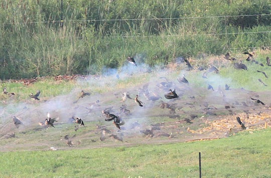 Ducks, red-winged blackbirds and other birds react to a cannon net fired at Horicon Marsh State Wildlife Area during a duck banding outing led by the Wisconsin Department of Natural Resources.
