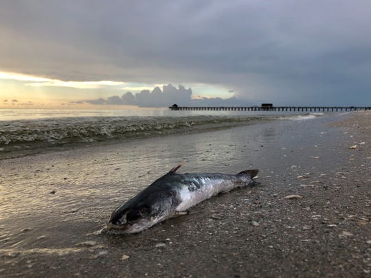 As the effects of red tide linger in Southwest Florida, a dead fish lies on the beach near the Naples Pier on Saturday afternoon, Aug. 18, 2018.