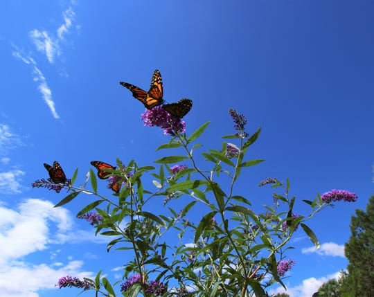 Butterflies flock to flowers at the 2018 Ruidoso Hospice Foundation Butterfly Release raising money to help terminally ill patients in Lincoln County.