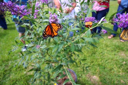 Monarch butterflies find their way to feed on pollen at the 2018 Ruidoso Hospice Butterfly Release.