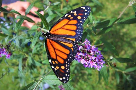 Monarch Butterfly Release Ruidoso
