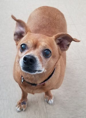Missy is a 6-year-old chihuahua who was surrendered to the shelter, because her owner was moving to a nursing home. We put Missy on a bit of a diet, because she weighed 30 pounds. We also found she has suspected seasonal allergies and has been started on medicine, which her new family will have to talk to a vet about to see what adjustments need to be made. Missy is a favorite here at the shelter, and we would all love to see her find a home where her diet continues. She loves to curl up in bed and wrap herself in blankets, and she loves attention. Because of her age and not having any history with children, we're looking for a home for her with children older than 12 years. If you're looking for a sweetheart, you have to come meet Missy!
