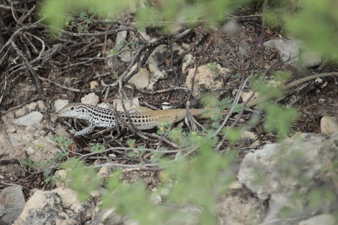 The Plateau Spotted Whiptail is one of the larger whiptail species in Texas, with an average length of about 9 inches.