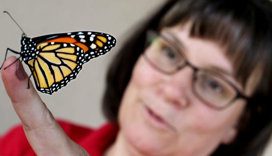 Kris Gessert estimates she has raised and released at least 800 monarch butterflies in the past 10 years. On Friday, Aug. 10, 2018, she released seven adult monarchs outside her workplace in Altoona, Wis.