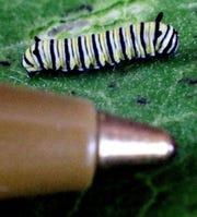 A baby monarch caterpillar, seen in an Aug. 10, 2018 photo, is barely the size of a pen head. Kris Gessert always searches for these tiny insects on the bottoms of milkweed leaves in her neighborhood. (Dan Reiland/The Eau Claire Leader-Telegram via AP)