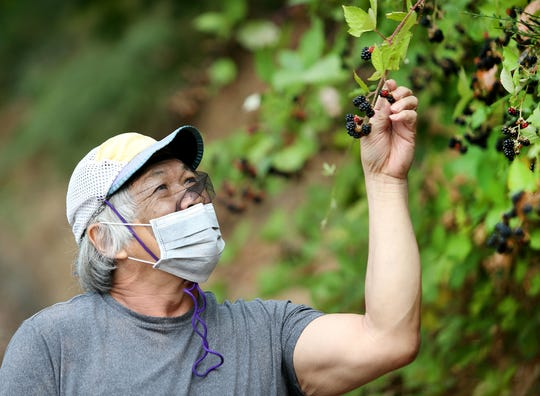 Mike Hu wears a mask to protect himself from wildfire smoke, as well as allergens, while he picks blackberries in East Bremerton on Monday.