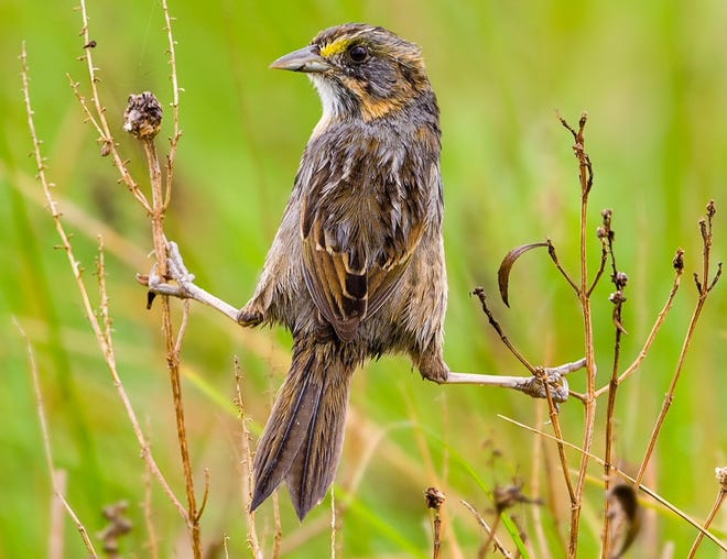 One of the coastal birds hardest hit by Harvey is the tiny seaside sparrow, which lives among the mangroves and spartina grass of the Coastal Bend.
