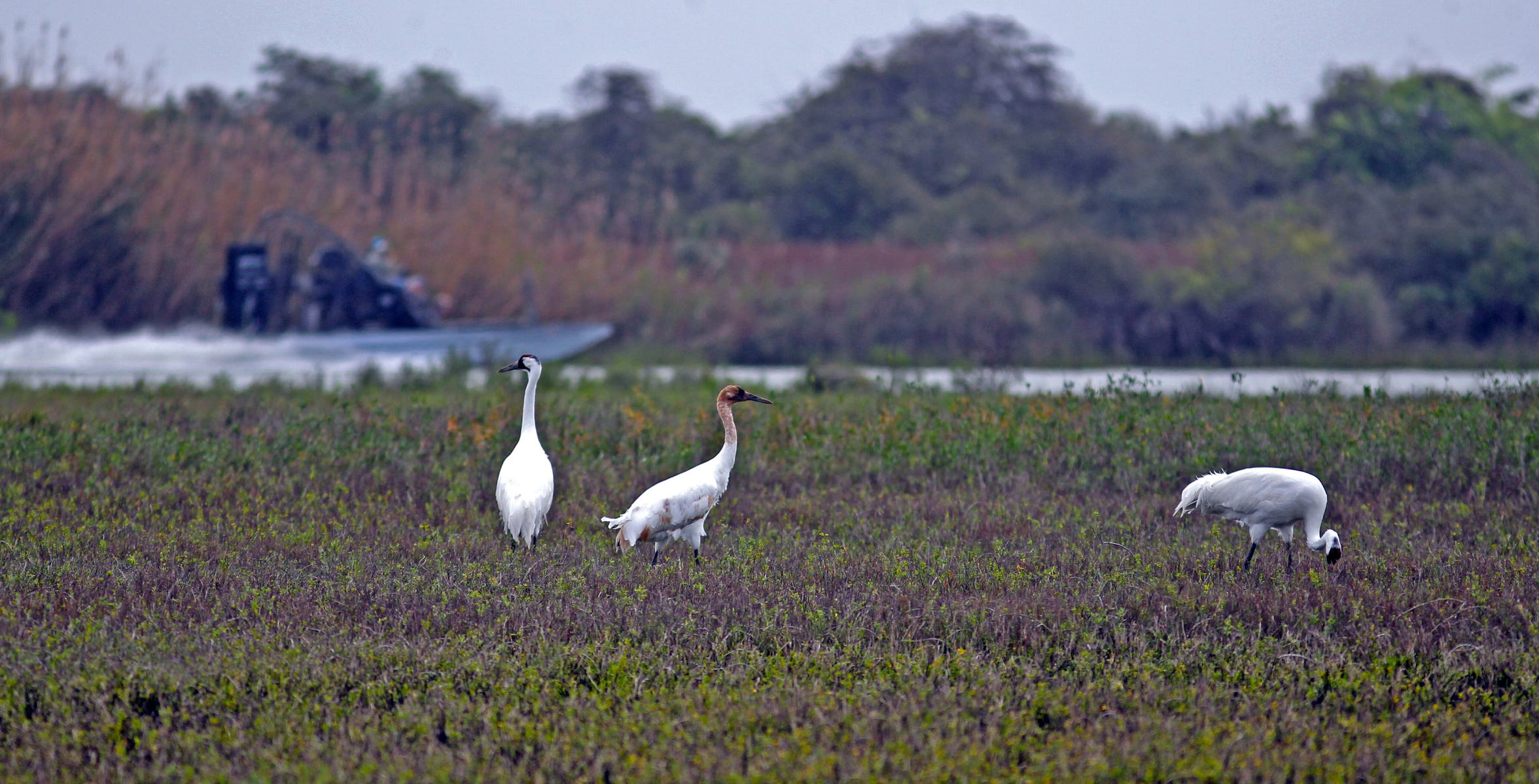 Most of the whooping crane's winter habitat is healthy as the only wild flock wings its way to Texas.