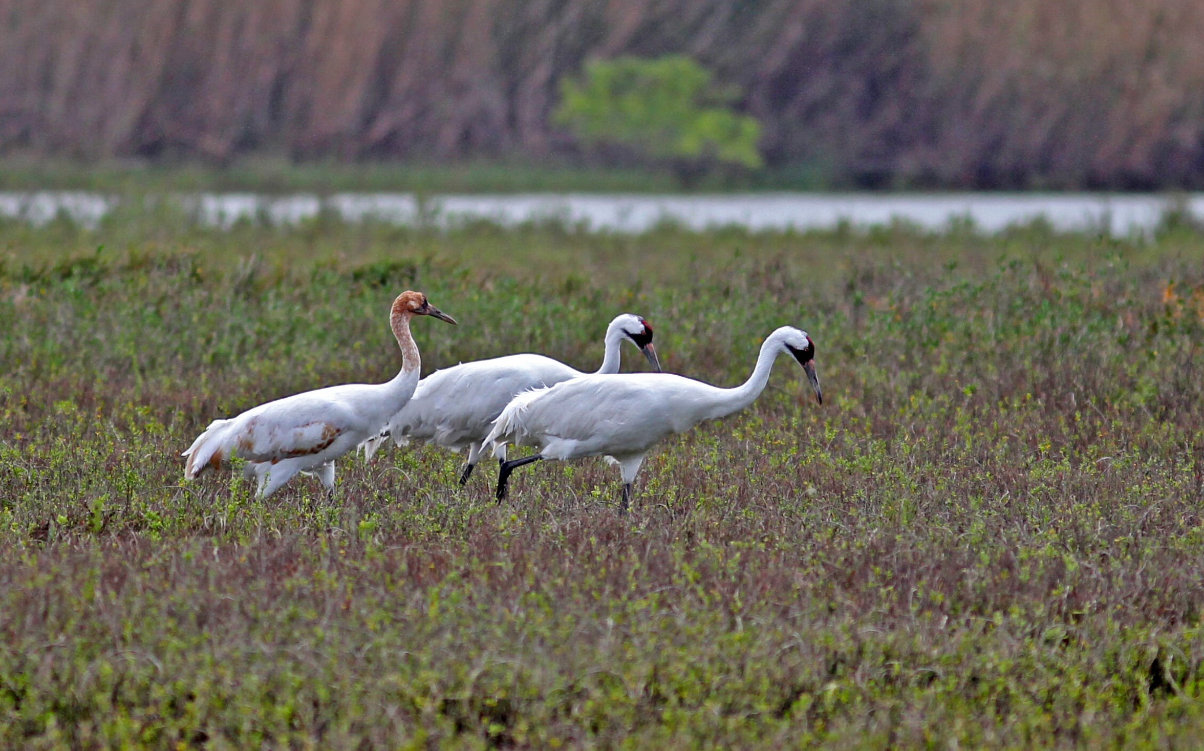 The whooping cranes has not arrived to the Aransas National Wildlife Refuge when Harvey made landfall.