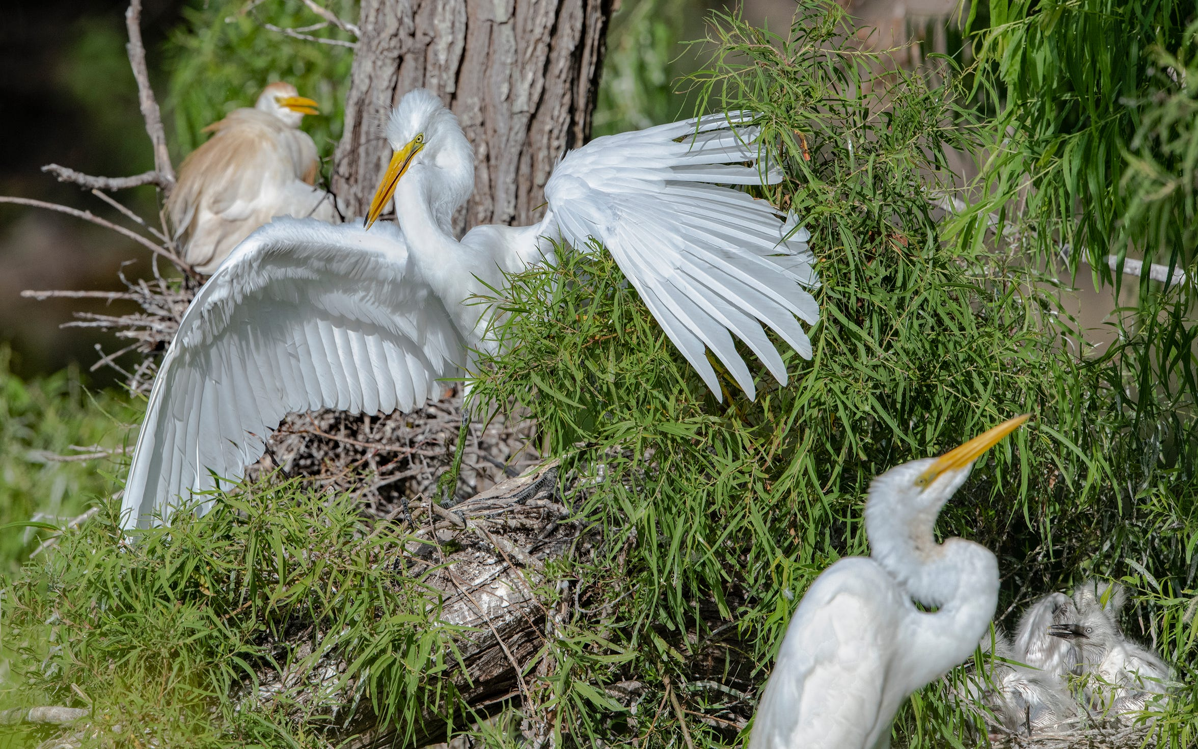 Many of the Coastal Bend's colonial waterbirds nested successfully in the spring after Harvey, thanks, in part, to rookery enhancements by the Coastal Bend Bays & Estuaries Program.