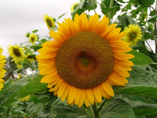 Ryan McPeek, co-owner of Coshocton KOA, said that he was inspired to hold the Sunflower Festival when someone suggested he turn some of the grounds into fields of sunflowers.