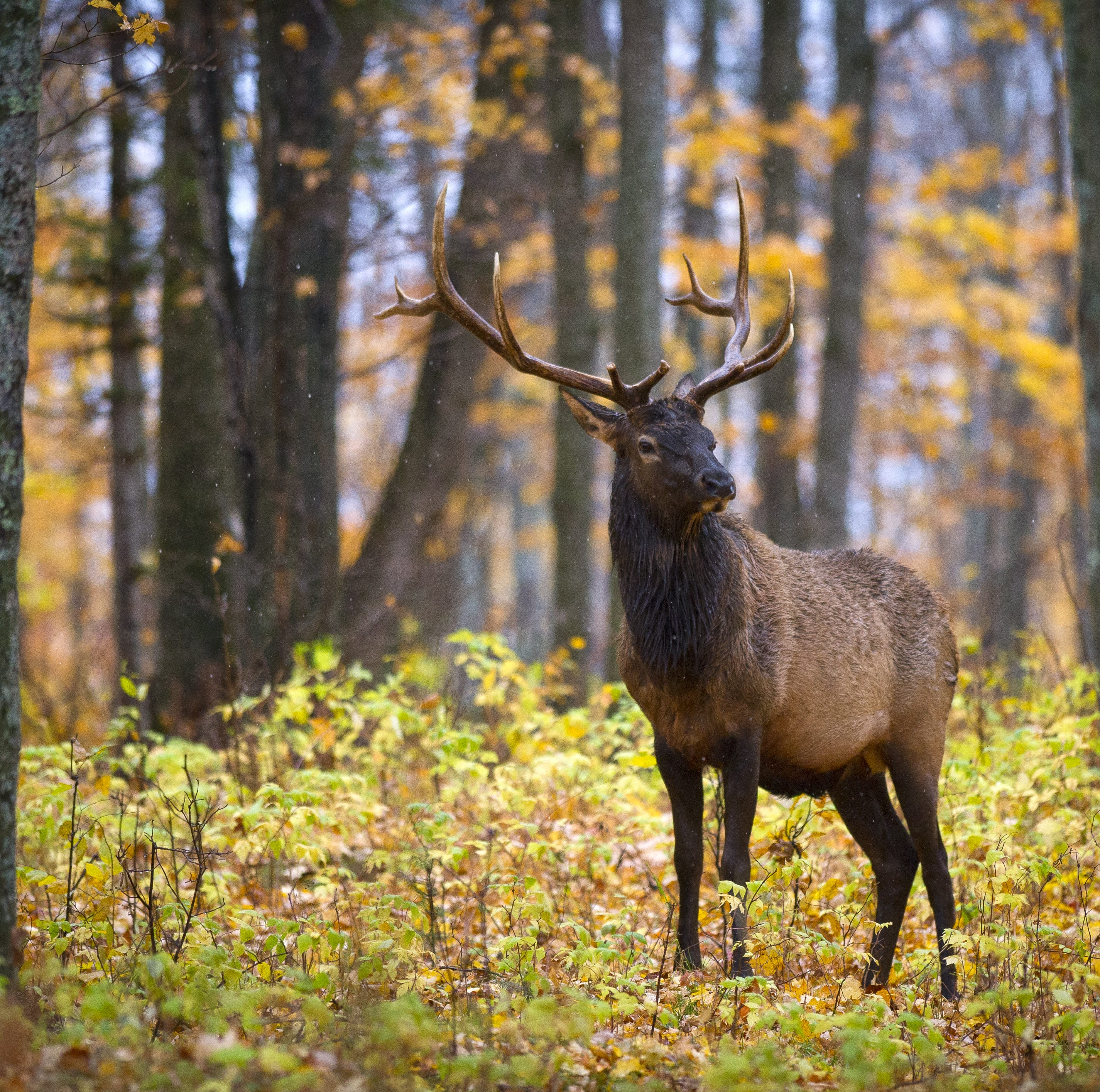 Wayne County man charged with illegally killing an elk
