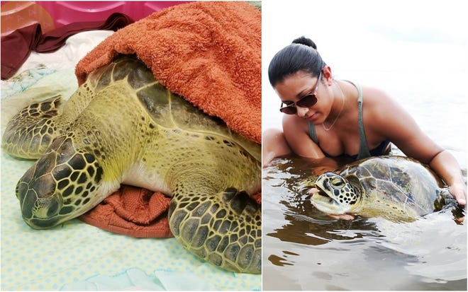 A juvenile sea turtle that was rescued Saturday by Nylah Rampersad on Sanibel Island (Fla.) is receiving treatment for red tide poisoning at the Clinic for the Rehabilitation of Wildlife (CROW). The turtle is in guarded condition and has been moved to a shallow tank. It can take anywhere from three weeks to three months for turtles to recover from red tide poisoning.