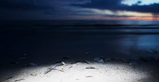 Dead fish line the beach at approximately a third of the way down Fort Myers Beach on Friday evening 8/17/2018. Despite reports of clean beaches in Southwest Florida, some areas are seeing large fluctuations in red tide counts throughout the area.