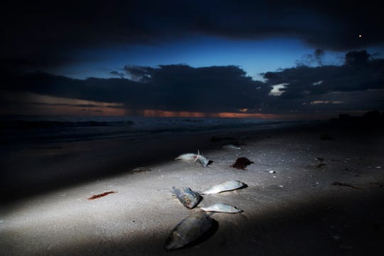 Dead fish line the beach at approximately a third of the way down Fort Myers Beach on Friday evening 8/17/2018. Despite reports of clean beaches in Southwest Florida some areas are seeing large fluctuations in red tide counts throughout the area.