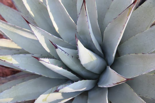 Agaves are plentiful along the trail.