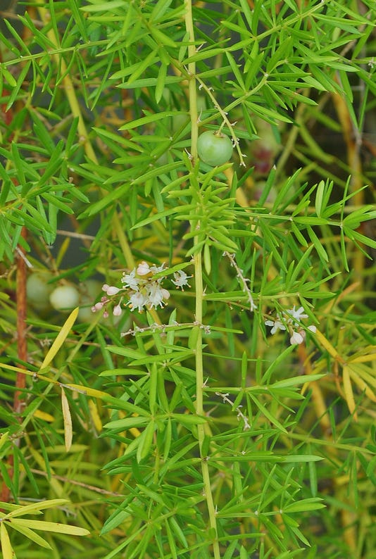 Asparagus Aethiopicus Flws Fr Sept 2 Yard Doc