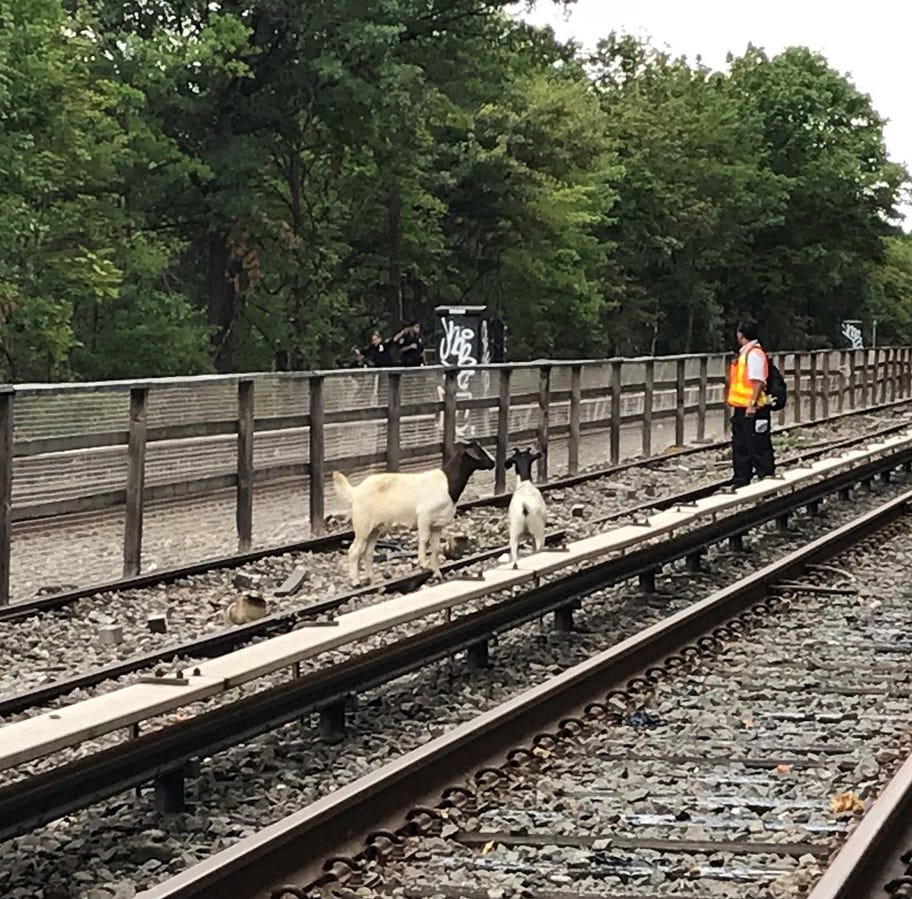 Goats delayed subway service in Brooklyn, Aug. 20, 2018.