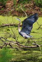 A great blue heron takes flight from a pond at James Baird State Park in the LaGrange on Thursday, May 13, 2004. Darryl Bautista Photo