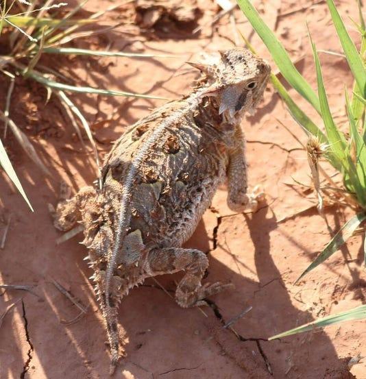 Hornfrog