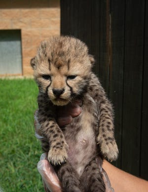 A pair of cheetah cubs were born at The Wilds recently.