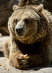 A grizzly bear eats frozen fruits on a hot summer day at Madrid's zoo on July 2, 2015. Spain is heading for a new heatwave which will last for at least nine days and extend to the rest of Europe, the national weather office said on July 1.   AFP PHOTO/ DANI POZODANI POZO/AFP/Getty Images ORG XMIT: - ORIG FILE ID: 542218079