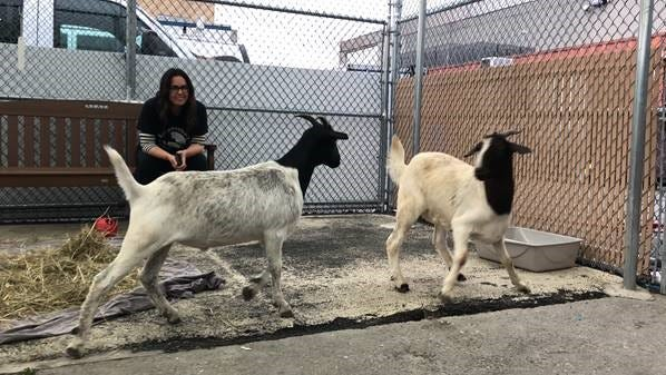 Jon Stewart helped rescue two wayward goats who were wandering the subway tracks. They were brought to Farm Sanctuary in upstate New York