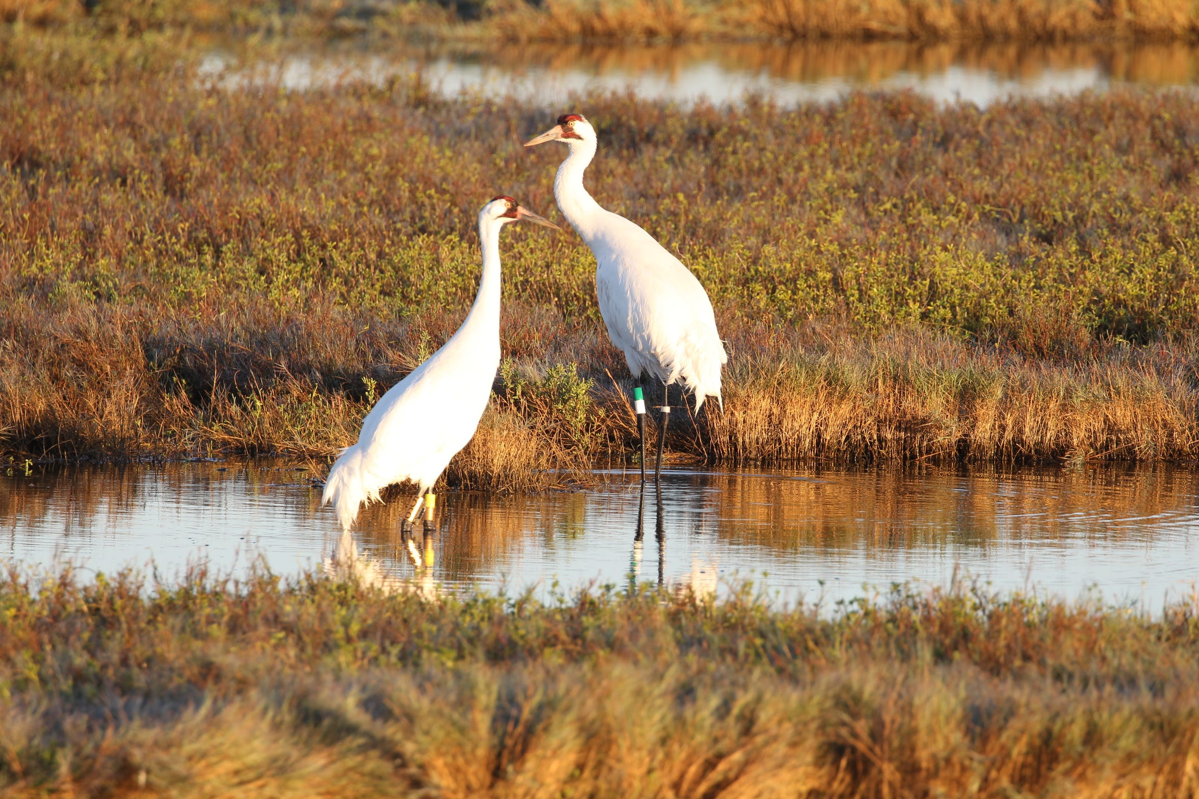 The habitat in and around the Aransas National Wildlife Refuge where whooping cranes spend winter provide enough food for the iconic birds this year.