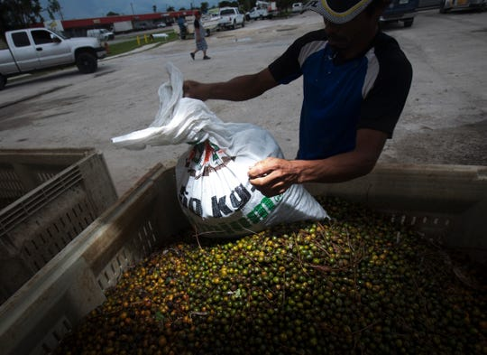Harvested palmetto berries are dropped off by pickers at a road side buyer in Immokalee on Monday 8/20/2018. A new law has gone into effect requiring pickers to have a permit and  written permission from land owners. If a picker is caugh without a permit or permission they can be subject to arrest or fine.