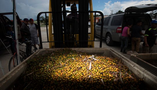 A filled crate of haravested palmetto berries are transferred at a road side buyer and weigh in station in Immokalee on Monday 8/20/2018. A new law has gone into effect requiring pickers have a permit and written permission from land owners.