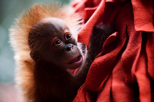 The Greenville ZooÕs baby orangutan is briefly shown to the public for the first time at the orangutan exhibit on Tuesday, Aug. 21, 2018.