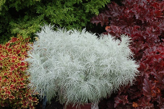 Frothy silvery fern-line foliage on Markana artemisia is an enticing a new annual sunny summer pots.