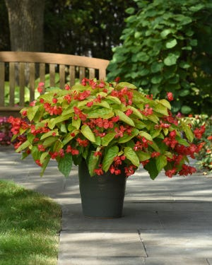 Rich red flowers contrast beautifully with the bright waxy leaves of Canary Wings begonia to brighten a shady location.
