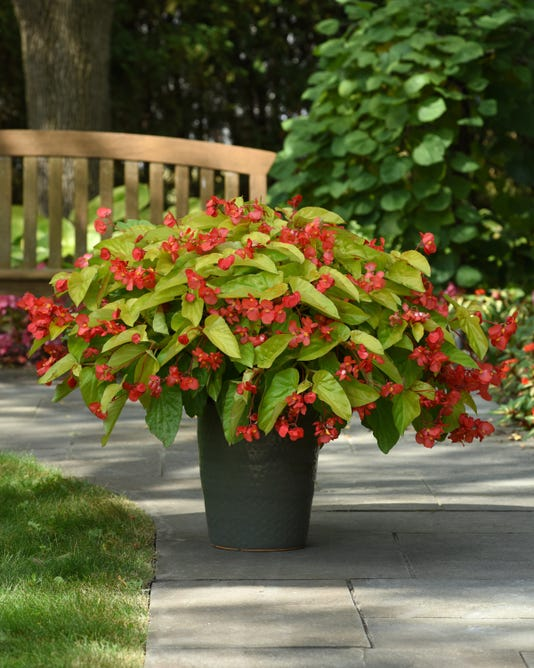 Begonia Canary Wings Container 22740