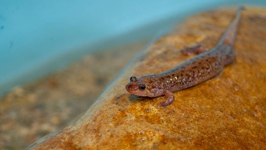 A small Seal Salamander explores its artificial stream.
