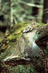 The DNR is asking ruffed grouse hunters for their participation in this monitoring effort.