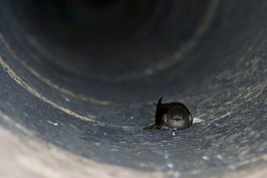 At 7 p.m. Aug. 30,volunteers will gather at Cool City Bar, 1509 Washington St., in Two Rivers, and head out with trained birders to monitor chimneys around Main Street for roosting chimney swifts.