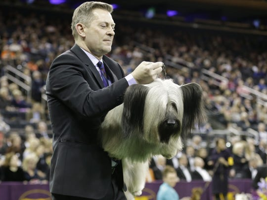AP A handler carries Charlie, a Skye terrier, to the judging table at the Westminster Kennel Club dog show in New York.