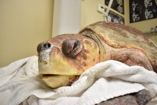 Members of Clinic for the Rehabilitation of Wildlife (CROW) are treating sea turtles affected by red tide. The red tide attacks the turtle nervous system making it weak and more susceptible to drown or attack from a predator. The animals were treated with a combination of IV fluids, antibiotics and sometimes a blood transfusion. Crow has helped save four sea turtles founded stranded in Collier County.